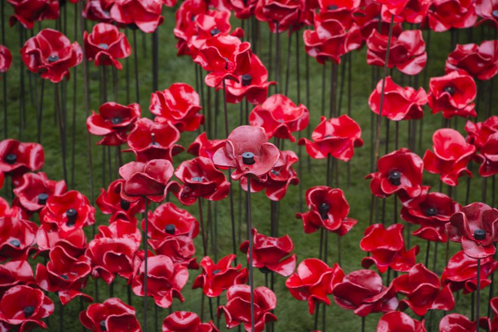 Dedicate a Poppy and Honor the Fallen this Memorial Day